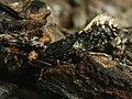 Monopis laevigella - Skin moth (40532129184).jpg