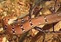 Montane Trinket Snake Coelognathus helena monticollaris by Dr. Raju Kasambe DSCN5610 (14).jpg