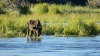 File:Moose (Alces Alces) in Seedskadee National Wildlife Refuge.webm