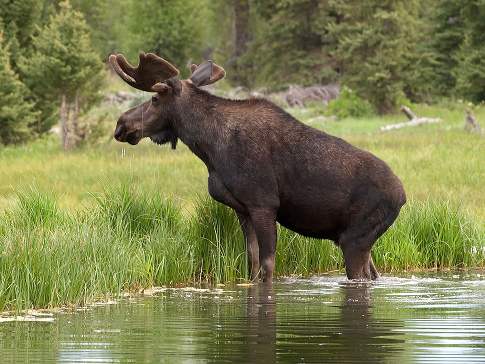 Moose 983 LAB