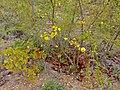 Mopane Yellowthorn (Rhigozum zambesiacum) (11588819806).jpg