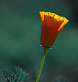 Morning Poppy (13885270325).jpg