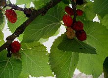 Frutos de Morus nigra