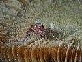 Mosaic Boxer crab (Lybia tessellata) (14387916576).jpg