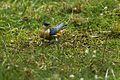 Mosque Swallow - Kenya S4E7459 (16793462089).jpg
