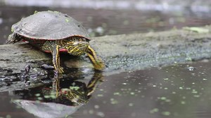 File:Mosquitoes vs painted turtle (Chrysemys picta).webm