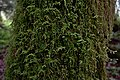 Moss on a living tree in Clearwater Wilderness, WA.jpg