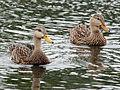 Mottled Duck pair RWD.jpg