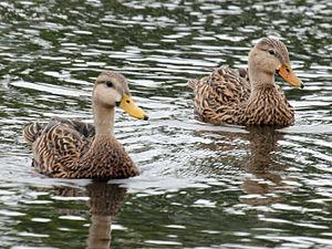 Mottled duck - Image: Mottled Duck pair RWD