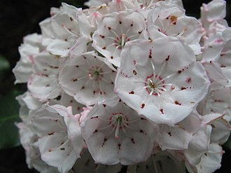 Kalmia - Mountain laurel blooms showing the conjoined petals