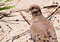 Mourning Dove Close-up ABDS-MD-1.jpg