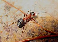 Mrówkowate
