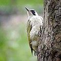 Mrs woodpecker (30145854305).jpg