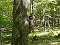 Murphy's Park raccoon.jpg