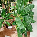 Musa acuminata - C. Fred Edwards Conservatory - Huntington Museum of Art - DSC05547.JPG