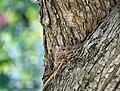 Muscicapa striata. Серая мухоловка в гнезде на дереве.jpg