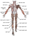 Muscle posterior labeled-ar.png