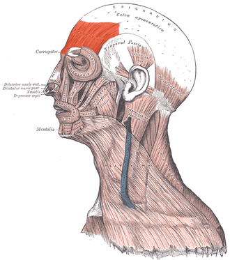 Frontalis muscle - Visible at top left colored in red