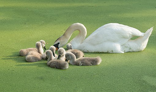 Mute swan cygnets and mother on duckweed-covered pond