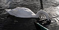 Mute swan drinking.jpg