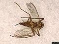Mycetophilidae sp. (37961267596).jpg