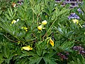 Myddelton House garden, Enfield, London, England - yellow peony 01.jpg