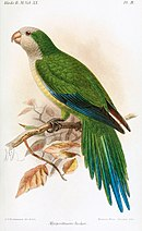 A green parrot with a white head and chest, a light-green belly, blue-tipped wings and a blue-tipped tail