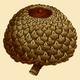 NAS-006f Quercus lyrata acorn.png