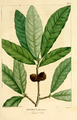 NAS-015f Quercus imbricaria.png