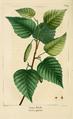 NAS-069 Betula papyrifera.png