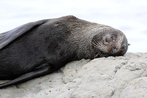 Culling - New Zealand fur seal