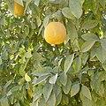 Naarakam-orange.jpg