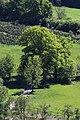 Nachrodt-Wiblingwerde-NaturdenkmalEiche-1-Bubo.JPG