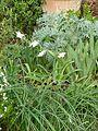 Narcissus Thalia, Iris tuberosa and Cardoon - Flickr - peganum.jpg