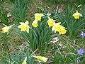 Narcissus pseudonarcissus pseudonarcissus1.jpg