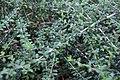 Nashia inaguensis 17zz.jpg