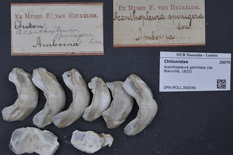 Conservation des chitons 800px-Naturalis_Biodiversity_Center_-_ZMA.MOLL.300049_-_Acanthopleura_gemmata_%28de_Blainville%2C_1825%29_-_Chitonidae_-_Mollusc_shell