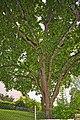 Naturdenkmal Große Linde, Kennung 82350290006, Gechingen 04.jpg