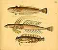 Naturgeschichte in Bildern mit erläuterndem Text (Taf. XXV) (6058659471).jpg