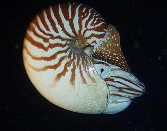 Nautilus macromphalus - Nautilus macromphalus