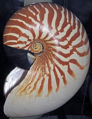 Nautilus stenomphalus - Image: Nautilus stenomphalus (white patch nautilus) (Mindanao, Philippines) 2 (24078294661)