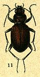Nebria bonellei from Jacobson.jpg