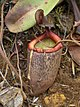 Nepenthes peltata2.jpg