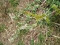 Nepeta cataria L. (AM AK295007-1).jpg