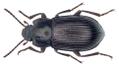 Nesotes viridicollis (Schaufuss, 1869) (35000559513).png