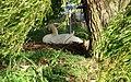 Nesting Swan, Grafton Lock - geograph.org.uk - 911692.jpg