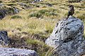 Nestor notabilis -Rees-Dart Track, New Zealand-8 (1).jpg