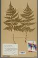Neuchâtel Herbarium - Dryopteris dilatata x paleacea - NEU000000924.tiff