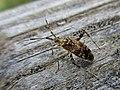 Neurocolpus spec. (Miridae) - (imago), Niagara (NY), United States - 2.jpg