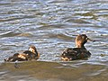 New Zealand Scaup (female) with chicks 2.jpg